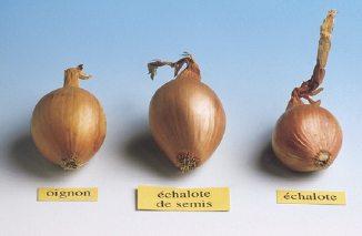 L 39 chalote de semis - Culture de l echalote ...