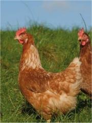 poules plein air cahier des charges